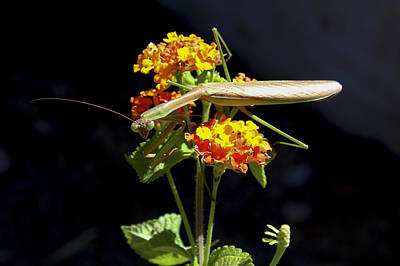 Photograph - Not Intimidated At All Praying Mantis by Reid Callaway