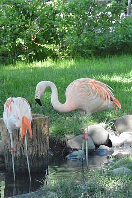 Photograph - Not Plastic All Pink Flamingo  by Nicki Bennett