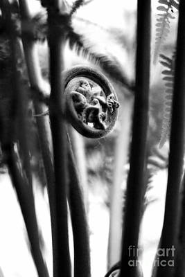 Photograph - Not Quite Unfurled Fiddlehead Fern In Black And White by Angela Rath