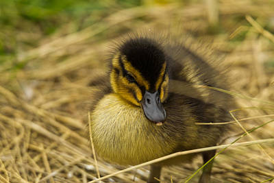 Baby Bird Photograph - Not So Ugly Duckling by Chris Whittle