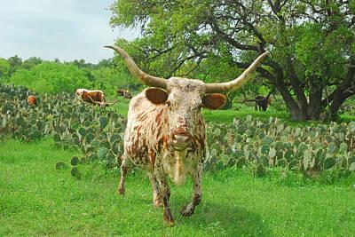 Texas Longhorn Cow Photograph - Not Today by Robert Anschutz