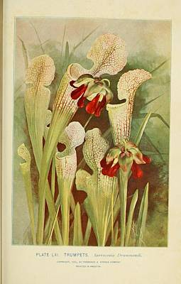 Old Pitcher Painting - Notable Women Trumpets/crimson Pitcher  by Unknown