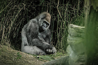 Gorilla Photograph - Nothing To Do by WildePics Photography Inc