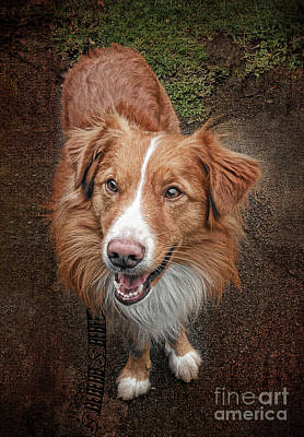 Photograph - Nova Scotia Duck Tolling Retriever by Brenda Kean