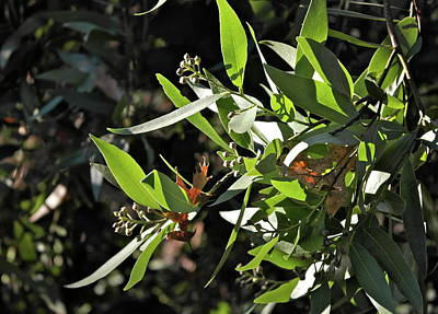Photograph - November California Bay Laurel by Michele Myers