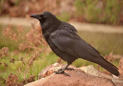 Photograph -  November Crow by Rae Ann  M Garrett
