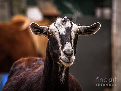 Photograph - Nubian Goat In Barnyard by Blake Webster