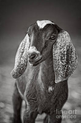 Photograph - Nubian Goat In Black And White by Jim and Emily Bush