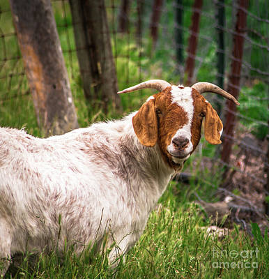 Photograph - Nubian Goat Profile Sonoma County by Blake Webster