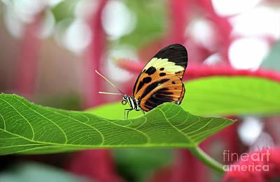 Photograph - Numata Longwing Butterfly by Karen Adams