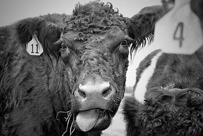 Belted Galloway Photograph - Number 11 by Kori Creswell