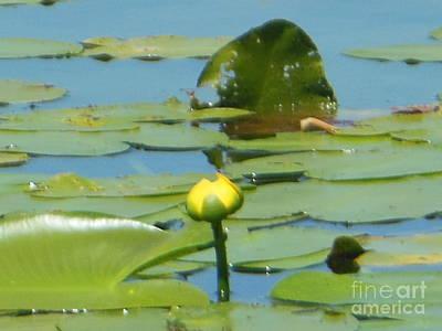 Nuphar Lutea Yellow Pond Art Print