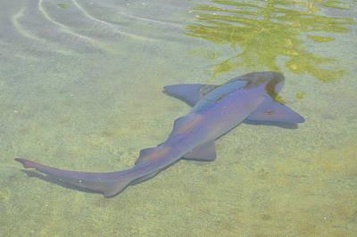 Shark Photograph - Nurse Shark 2 by Ken Figurski