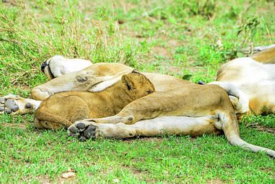 Photograph - Nursing Baby Lion by Marilyn Burton
