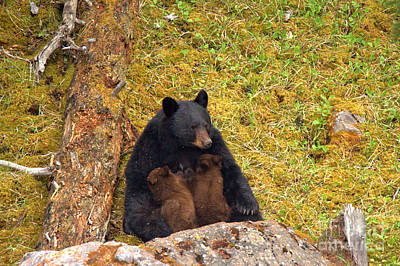 Photograph - Nursing Black Bear Sow by Adam Jewell