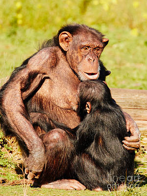 Photograph - Nursing Chimp by Nick  Biemans
