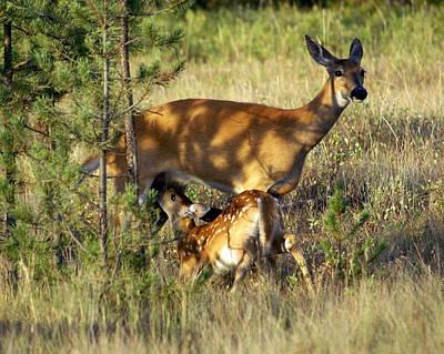 Nursing Deer Photograph - Nursing Fawn by Marty Koch