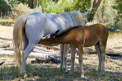 Photograph - Nursing Mustang Foal And Mare by Waterdancer