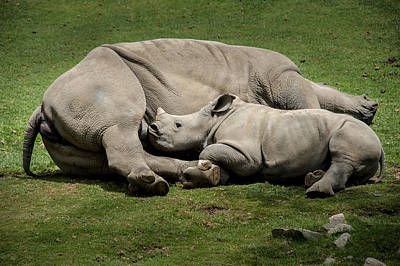 Photograph - Nursing Rhino by Tyson Smith