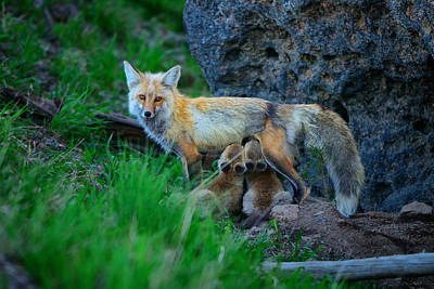 Photograph - Nursing Vixen by Greg Norrell