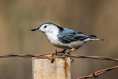 Photograph - Nut Hatch On Fence Post by Paul Freidlund