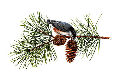 Painting - Nuthatch 1 by Jessie Vaughn