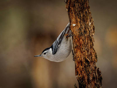 Photograph - Nuthatch 1 by Timothy Harris