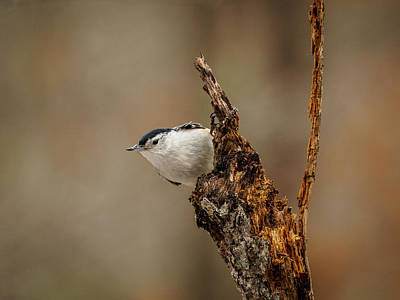 Photograph - Nuthatch 2 by Timothy Harris