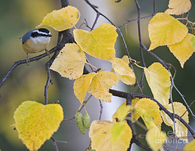 Nuthatch Wall Art - Photograph - Nuthatch And Birch Leaves by Tim Grams