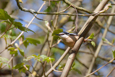 Nuthatch Wall Art - Photograph - Nuthatch by Chris Dale