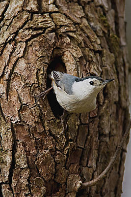 Photograph - Nuthatch by Craig Strand