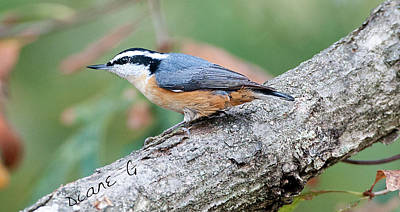 Photograph - Nuthatch by Diane Giurco