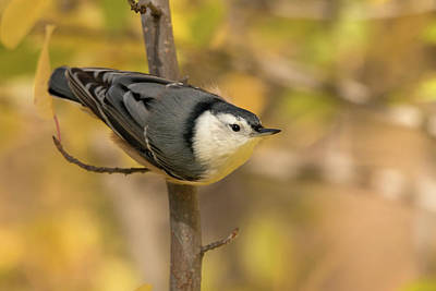 Photograph - Nuthatch In Fall by Celine Pollard