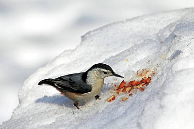 Photograph - Nuthatch In The Snow by Debbie Oppermann
