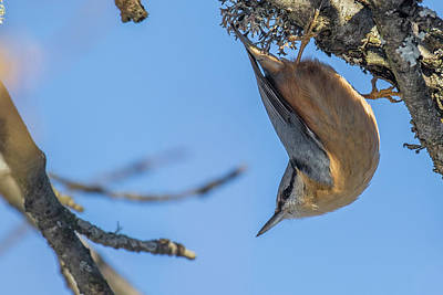 Photograph - Nuthatch by Jivko Nakev