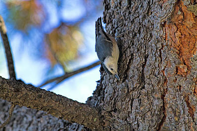 Photograph - Nuthatch Maneuver  by Alana Thrower