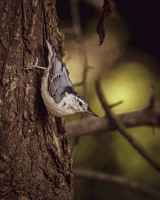 Photograph - Nuthatch Morning by Bob Orsillo