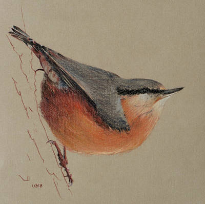 Drawing - Nuthatch Native British Bird by Wendy Booth