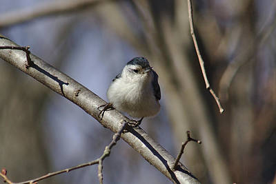 Photograph - Nuthatch On Perch by Brad Chambers