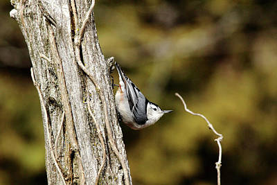 Photograph - Nuthatch Pose by Debbie Oppermann