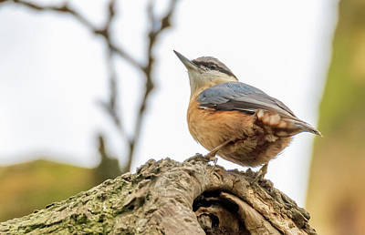 Photograph - Nuthatch - Sitta Europaea by Darren Wilkes