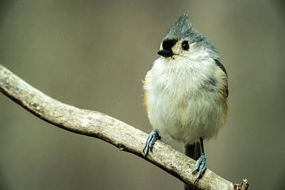 Baeolophus Bicolor Photograph - Titmouse Thinking About Weighty Matters by Douglas Barnett