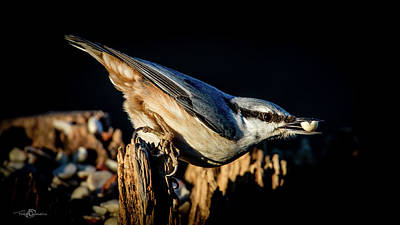 Photograph - Nuthatch With A Nut In The Beak by Torbjorn Swenelius