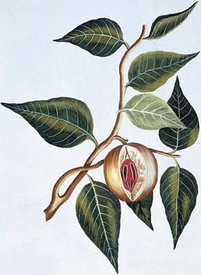 Vine Painting - Nutmeg by Pierre-Joseph Buchoz