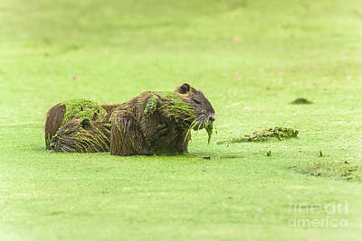 Art Print featuring the photograph Nutria In A Pesto Sauce by Robert Frederick