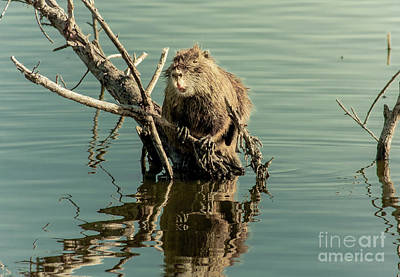Art Print featuring the photograph Nutria On Stick-up by Robert Frederick