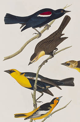 Starling Painting - Nuttall's Starling Yellow-headed Troopial Bullock's Oriole by John James Audubon