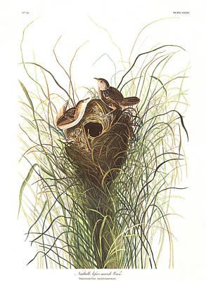 Nuttals Lesser-marsh Wren Art Print