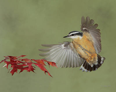 Photograph - Nutty About Red by Gerry Sibell