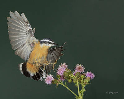 Photograph - Nutty About Thistle by Gerry Sibell